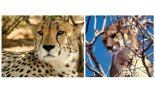 CheetahPuma
