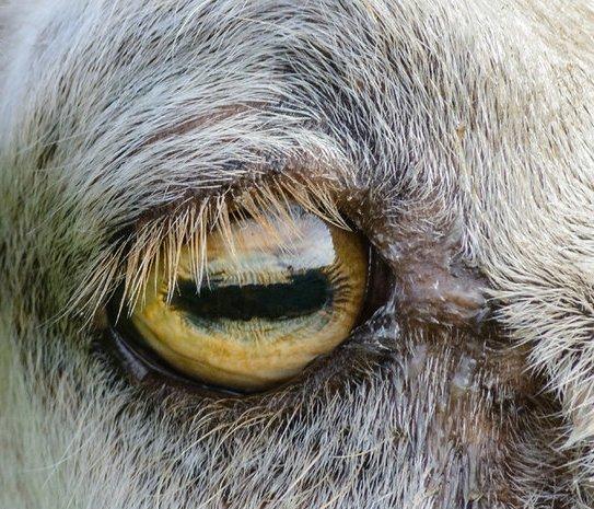https://simanaitissays.files.wordpress.com/2015/10/goat.jpg